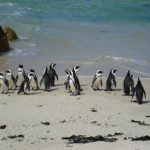 Penguins, Simonstown