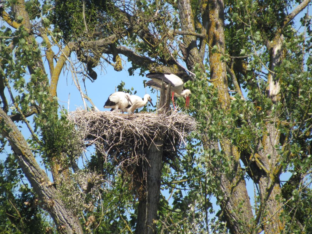 Storks atop a tree
